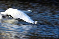 白鳥が飛ぶ