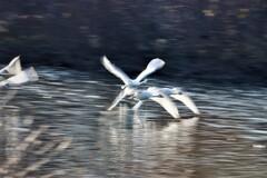 白鳥の流し撮り3