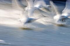 白鳥スロー撮影4