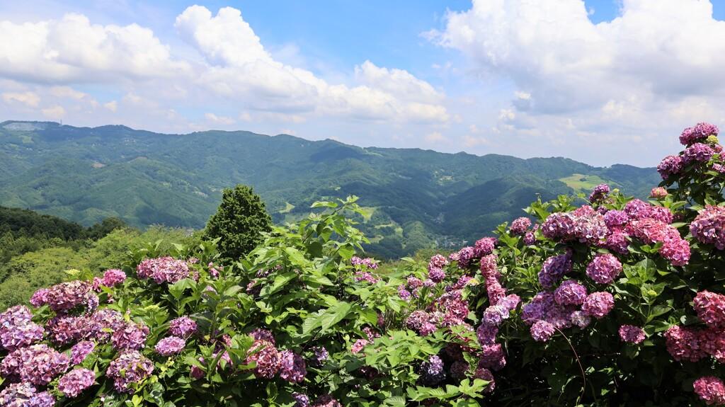 高原の紫陽花1
