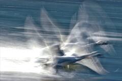 白鳥スロー撮影3
