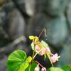 秋海棠を見に来たトンボ