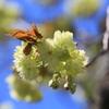 ウコン桜が咲いたよ