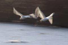 白鳥スロー撮影2
