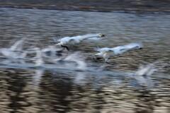 白鳥の流し撮り1