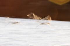 白鳥スロー撮影1