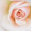 rose♪