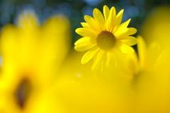 黄色の陰から