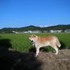 秋田犬ヨン 2