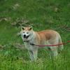 秋田犬ヨン