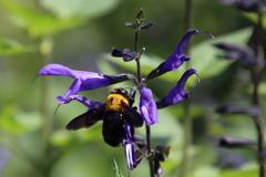 蜂とサルビア 根元から吸啜