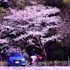 一本で春を呼んだ桜