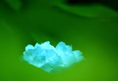 緑ながれる紫陽花一輪