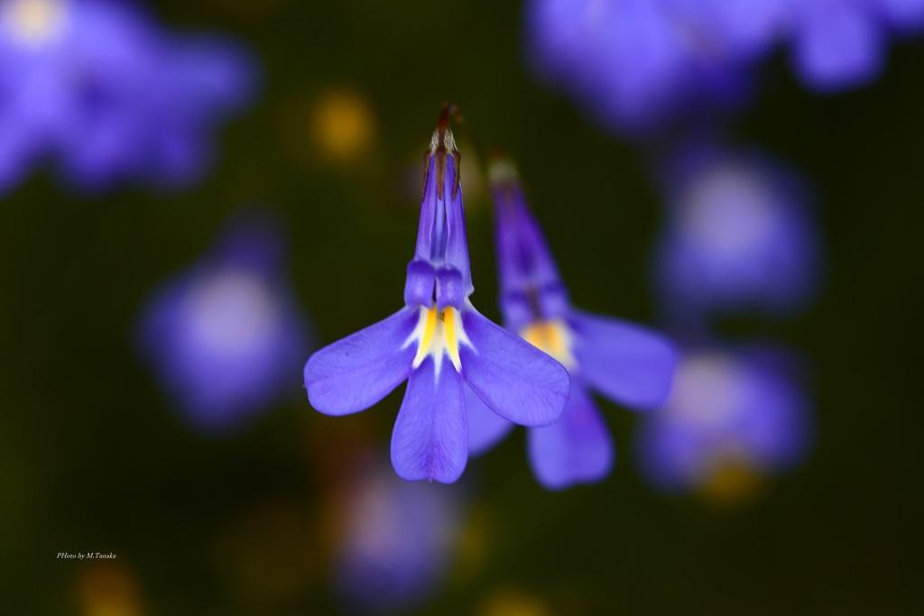 通勤途中の紫の花