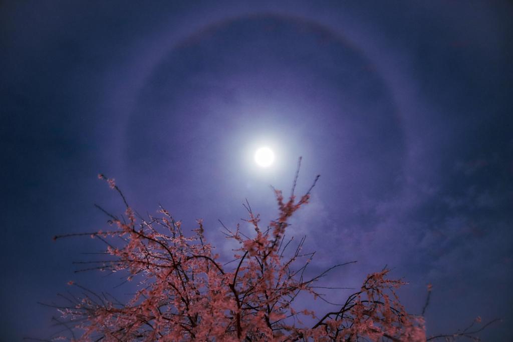 夜桜 ハロ