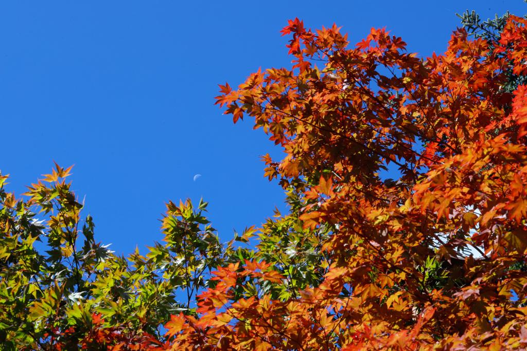 紅葉と残月