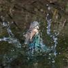 カワセミ幼鳥ダイブ