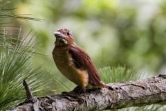 リュウキュウアカショウビンの幼鳥
