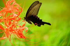 彼岸花と黒蝶