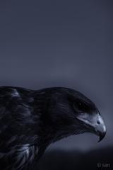 Hawk(Japan)