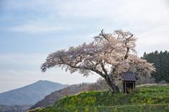 小沢のはつ恋桜