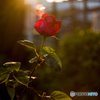 a rose in sunset