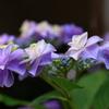 ザ・紫陽花