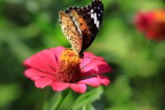 蝶の逆立ち