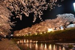 川辺の夜桜