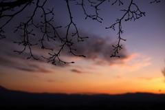 夕焼けにコブシの芽