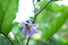 静かにナスの花