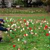 公園のチューリップの咲き具合を撮る人を撮る