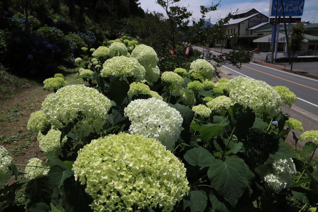2018 下仁田あじさい園にて (4)
