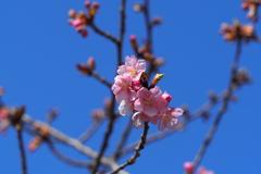 群馬 箕郷梅林にて (2) 河津桜