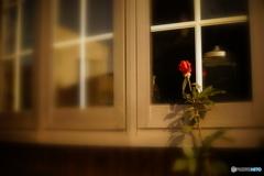 窓に赤いバラ