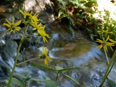 つわぶき咲く水辺
