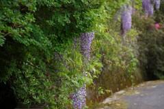 藤の咲く路