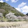 静かな桜風景