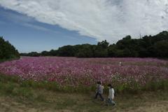 秋桜の川辺を歩く