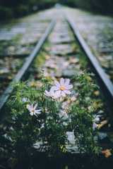 鉄路に咲く
