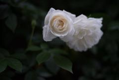 夕暮れの薔薇