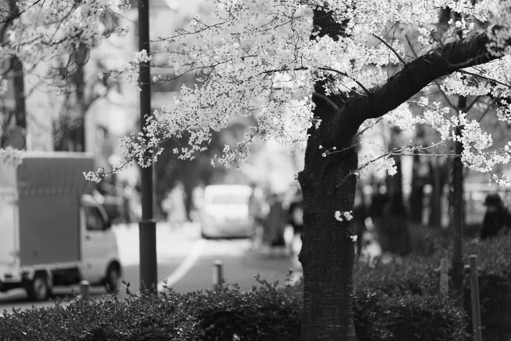 木屋町通の桜