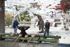 手水舎と桜