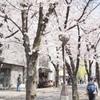 祇園界隈 桜並木