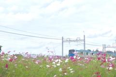 コスモス畑と東武野田線