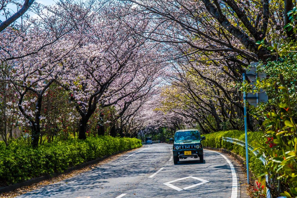 佐鳴湖公園 桜トンネル