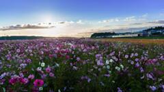コスモス畑の朝