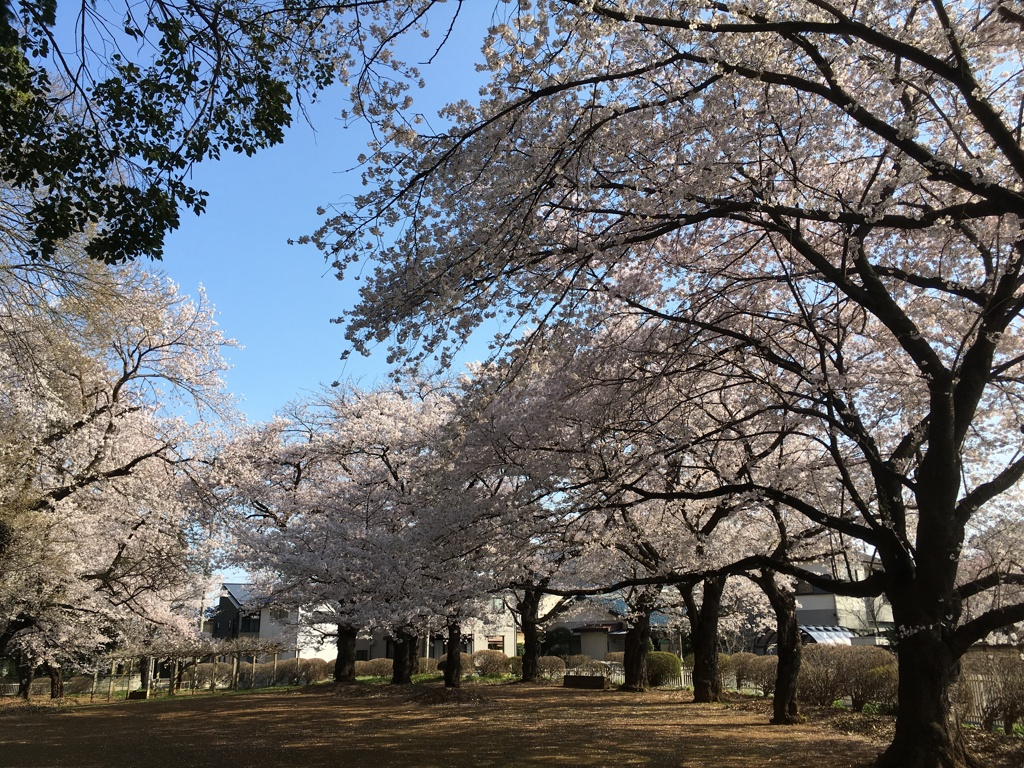 2020/03/26_氷川児童公園の桜