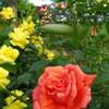 2013/05/18_平成の森公園 バラの小径のバラ