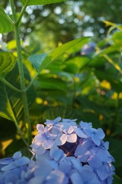 2016/06/18_伊奈アジサイ園の夕暮れ紫陽花(没カット)
